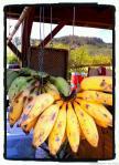 hanging bananas2